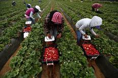 Fruit pickers harvest strawberries at a farm in San Quintin in Baja California state, Mexico April 1, 2015. REUTERS/Edgard Garrido
