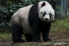 36-year-old giant panda Jia Jia, looks on at the Hong Kong Ocean Park, China July 9, 2015. REUTERS/Tyrone Siu