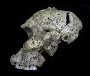 The lateral view of the Paranthropus robustus skull SK 46 is shown from the site of Swartkrans, South Africa in this handout photo provided by Binghamton University, September 25, 2015. REUTERS/Rolf Quam/Binghamton Univeristy/Handout via Reuters