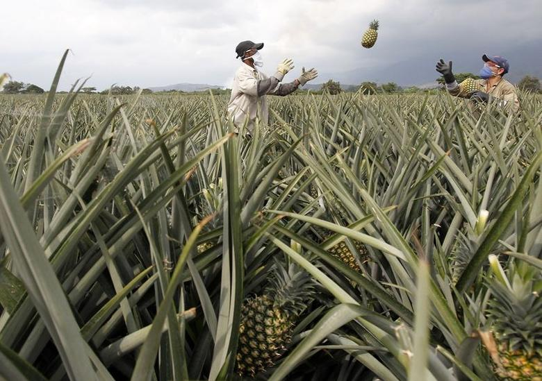 Men work on a crop of pineapples in Pradera in this February 5, 2014 file photo. Scientists on November 2, 2015, said they have sequenced the genome of the pineapple, learning about the genetic underpinning of the plant's drought tolerance and special form of photosynthesis, the process plants use to convert light into chemical energy.  REUTERS/Jaime Saldarriaga/Files