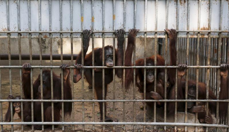 Thailand returns 14 smuggled orangutans to Indonesia - Reuters