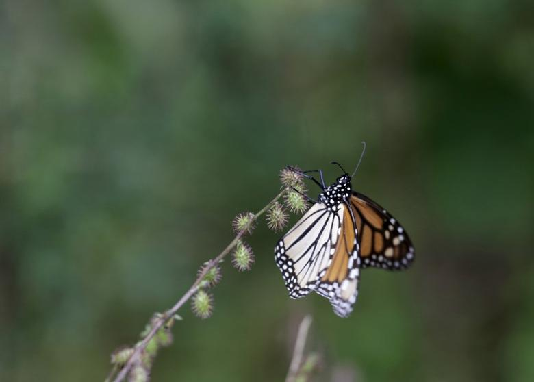 A Monarch butterfly rests on a plant in Angangueo, Mexico, November 28, 2015.  REUTERS/Daniel Becerril
