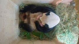 Giant panda Yang Yang and her twin cubs, which were born on August 7, 2016, are seen in this still frame taken from surveillance camera footage dated August 15, 2016 and released on August 16, 2016, in a breeding box inside their enclosure at Schoenbrunn Zoo in Vienna, Austria. Schoenbrunn Zoo/Handout via REUTERS
