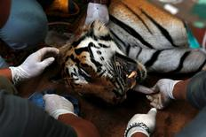 A sedated tiger is stretchered as officials continue moving live tigers from the controversial Tiger Temple, in Kanchanaburi province, west of Bangkok, Thailand, June 3, 2016. REUTERS/Chaiwat Subprasom