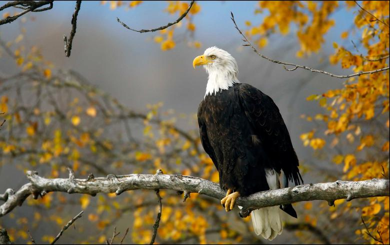 A bald eagle sits in a tree in the Chilkat Bald Eagle Preserve near Haines, Alaska October 8, 2014.   REUTERS/Bob Strong/File Photo