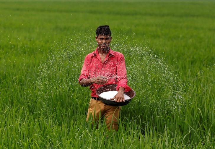 A farmer spreads fertilizer in his rice field on the outskirts of Ahmedabad, India, August 30, 2016. REUTERS/Amit Dave/File Photo