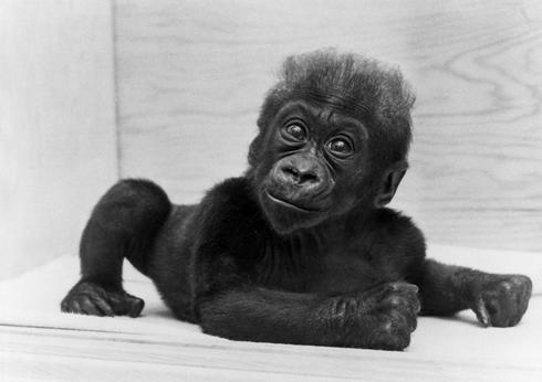 Oldest gorilla born in captivity dies at 60