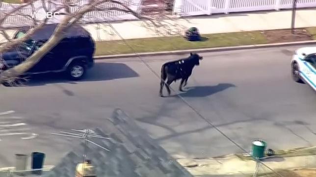 2月21日、米ニューヨークの食肉処理場から牛が逃げ出し、警察による2時間を超える大捕り物の末、民家の裏庭に追い込まれて死ぬ騒ぎがあった。写真はCBS提供のロイタービデオの映像から(2017年 ロイター)