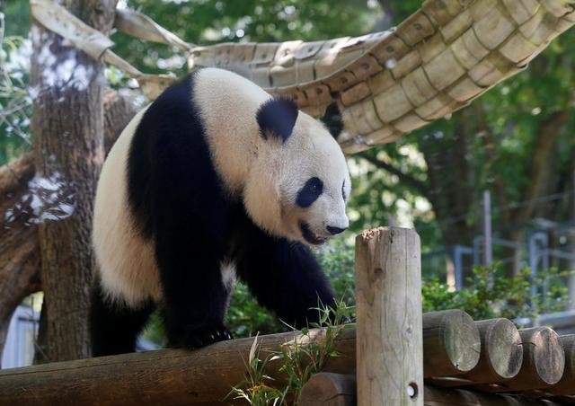 A female giant panda named Shin Shin which zoo officials say may be pregnant is seen through a window glass at Ueno Zoological Park in Tokyo, Japan May 19, 2017.  REUTERS/Issei Kato