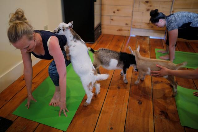 A goat climbs on instructor Janine Bibeau, from Peace, Love and Applesauce, during a yoga class with eight students and five goats at Jenness Farm in Nottingham, New Hampshire, U.S., May 18, 2017.  Picture taken May 18, 2017.    REUTERS/Brian Snyder