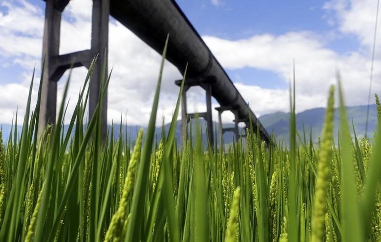 资料图片:2013年8月,云南大理郊区的稻田和输水管道。REUTERS/Jason Lee