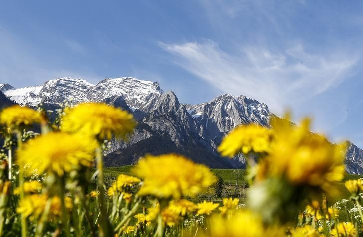 资料图片:2015年4月,奥地利西部村庄Absam附近雪山旁的花朵。REUTERS/Dominic Ebenbichler