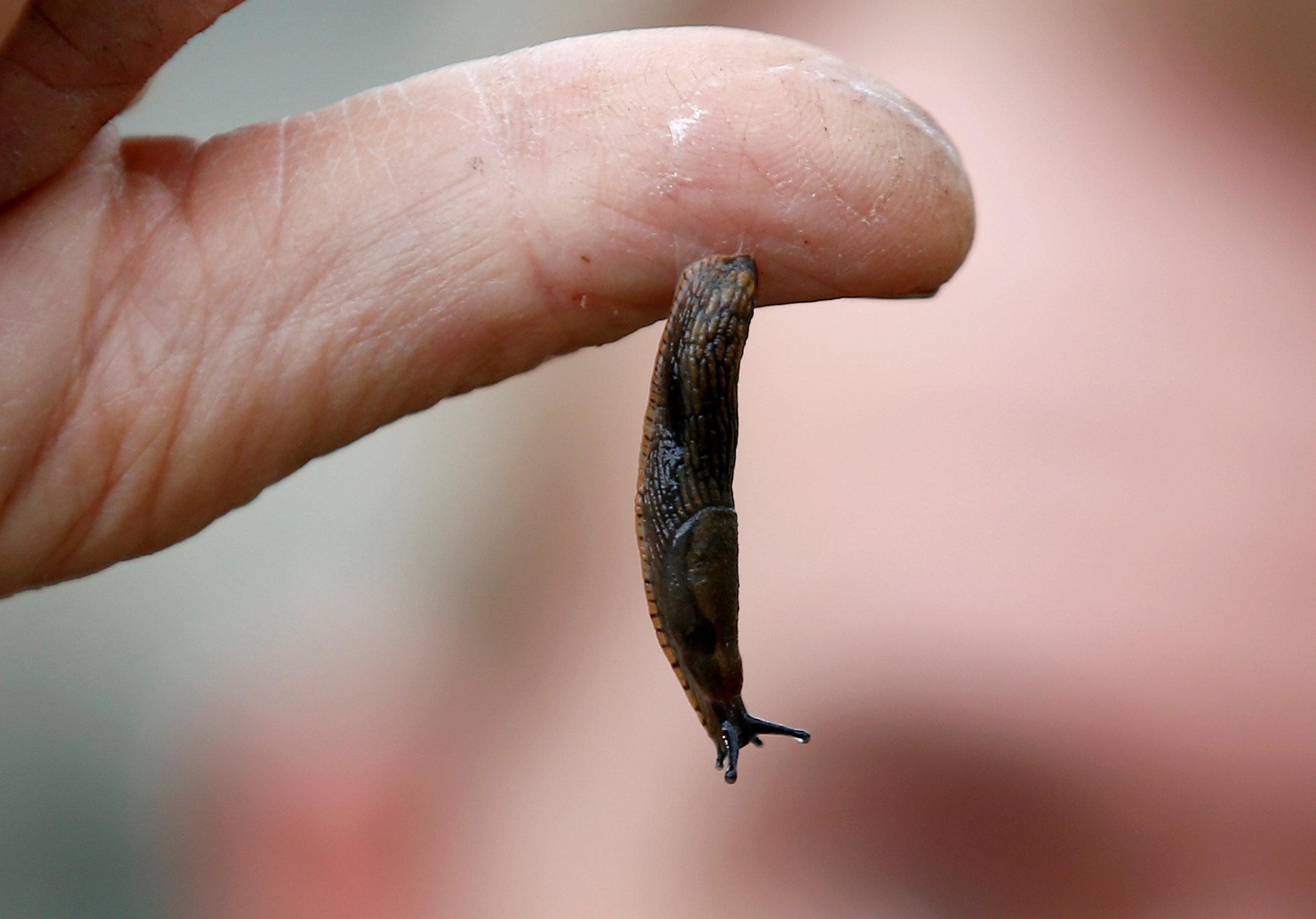 Slug slime inspires new kind of surgical glue - Reuters