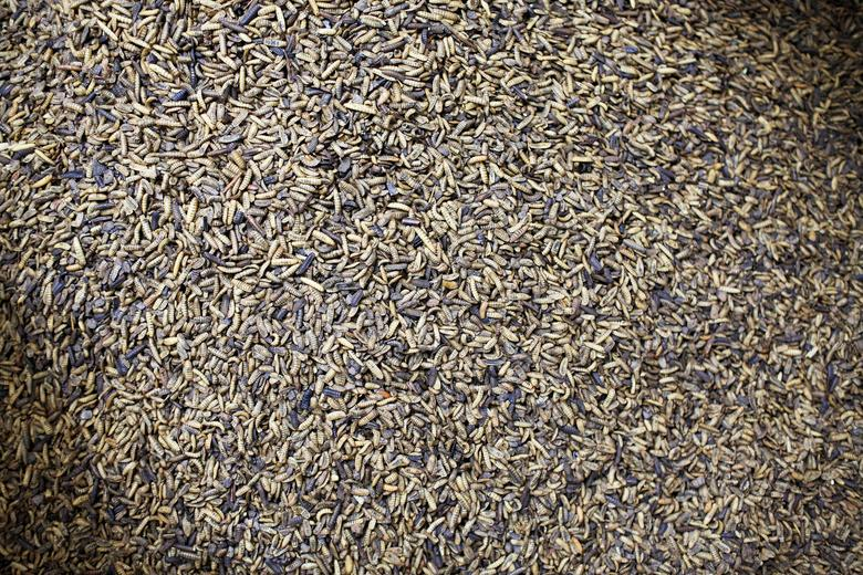 Insect farms gear up to feed soaring global protein...