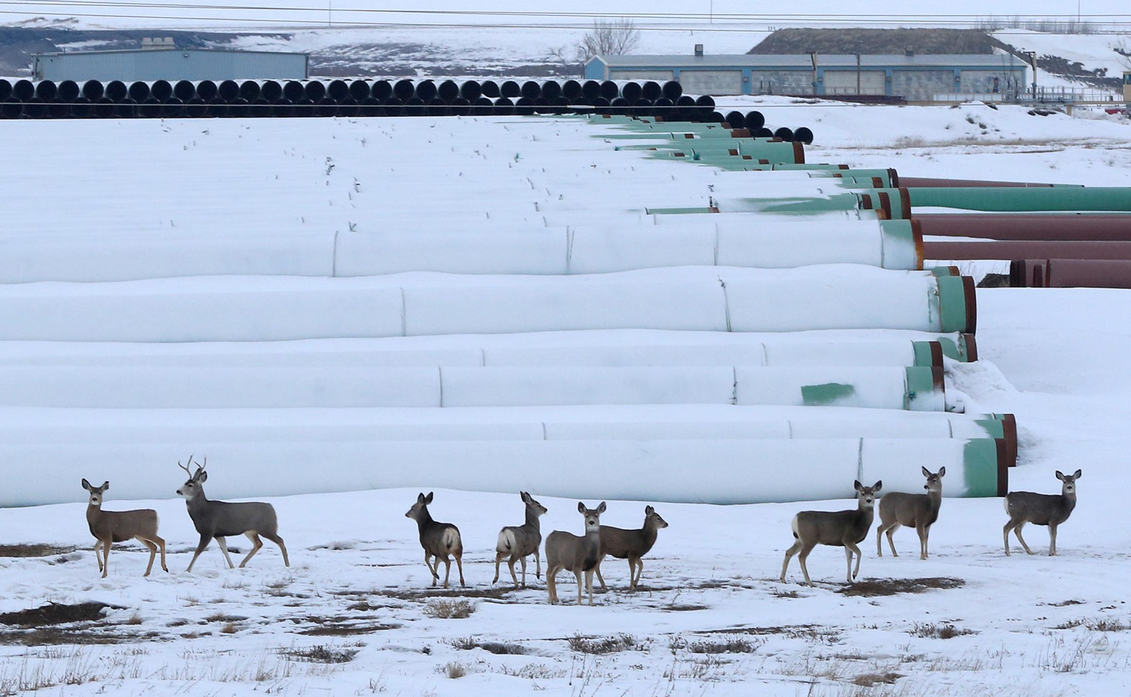 Deer gather at a depot used to store pipes for Transcanada Corp