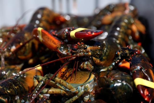 Ocean Shock: Lobster's great migration sets up boom and bust
