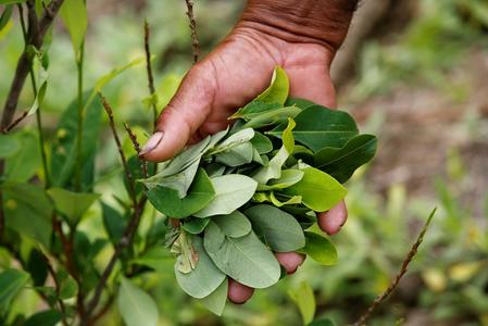 Colombia court upholds conditions for restarting aerial coca fumigation