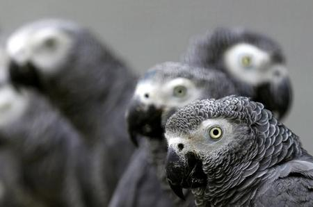 Cameroon conservationists heal endangered African gray parrots