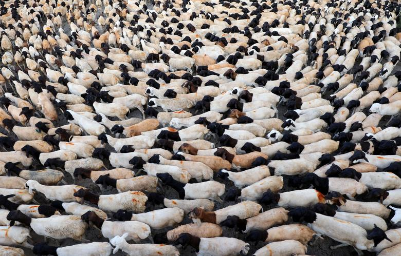 Koyun Somali'deki Mogadişu'daki Kurban Bayramı festivalinin öncesinde canlı hayvan pazarında görülüyor.  REUTERS / Feisal Omar