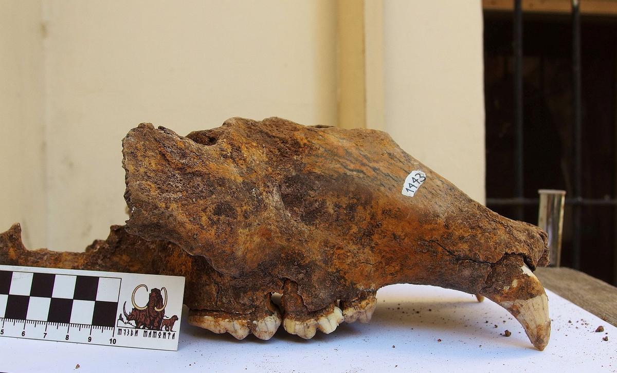 Genetiese studie impliseer mense in die dood van die prehistoriese grotbeer