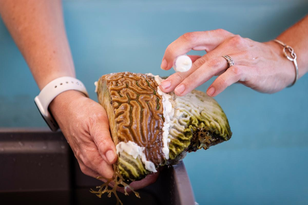 Terwyl nuwe siektes Karibiese koraal uitwis, skeur wetenskaplikes riwwe om die verspreiding te stop