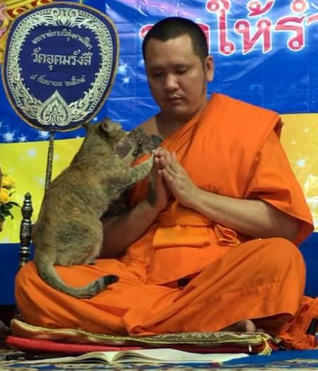 Cat vs. chants: Friendly feline tests Buddhist monk's patience
