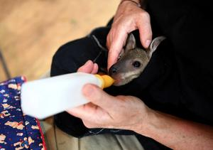 Animals at risk in Australian bushfires