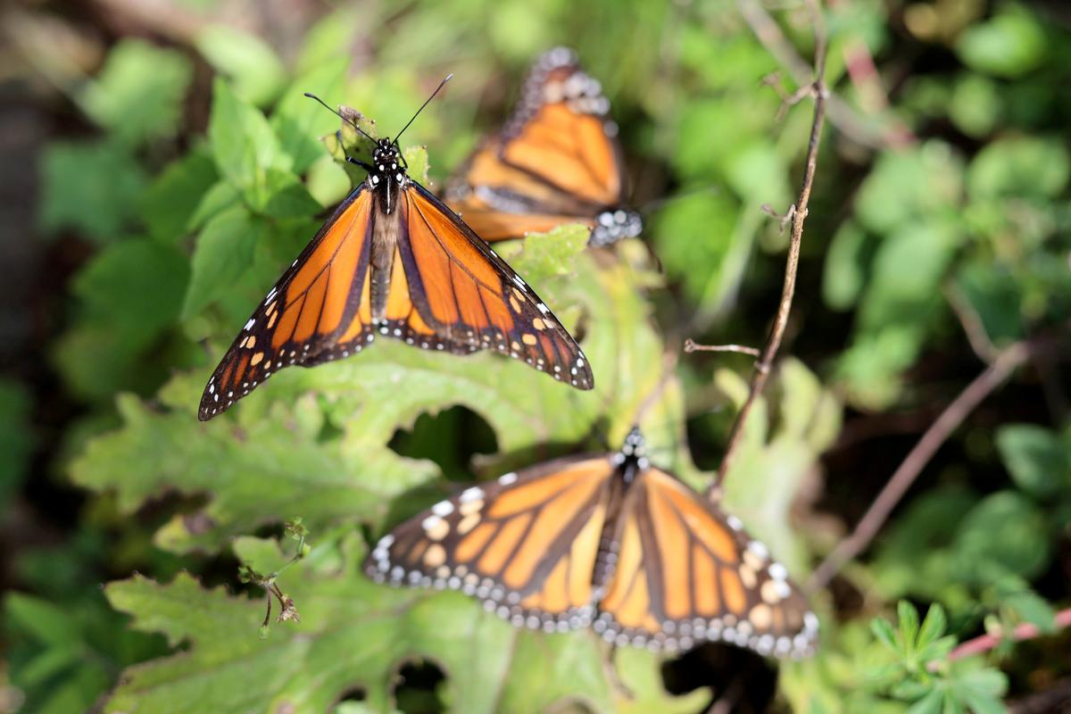 At famed Mexican butterfly reserve, second worker found dead