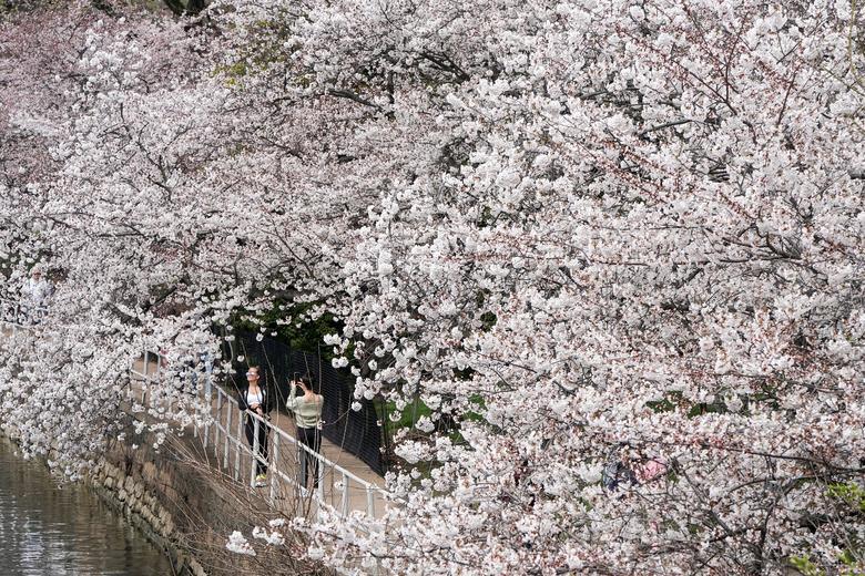 Люди фотографируют, проходя мимо цветущих вишневых деревьев в меньшем количестве, чем обычно, в Вашингтоне, 19 марта 2020 года. РЕЙТЕР / Джошуа Робертс