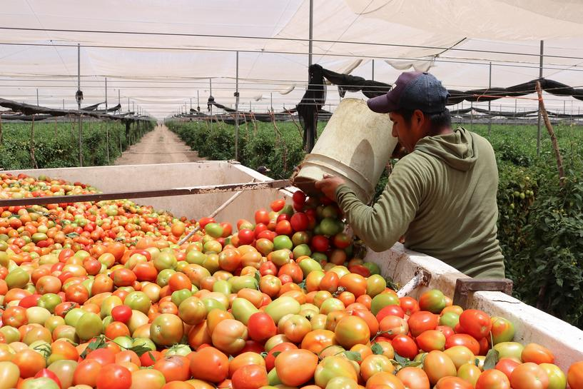 Mexican farmers give away tomatoes as demand squashed by coronavirus | Article [AMP] | Reuters
