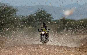 Swarms of locusts devastate parts of northern Kenya