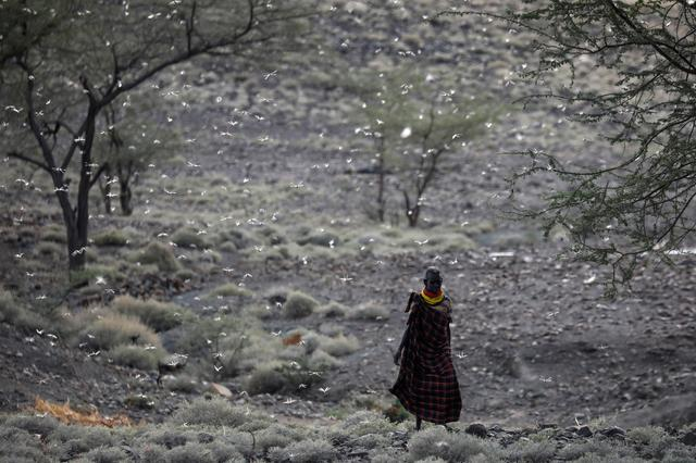 A Turkana man walks through a locust swarm near the town of Lodwar, Turkana county, Kenya, June 28, 2020. Numbers of locusts exploded in East Africa and the Red Sea region in late 2019, exacerbated by atypical weather patterns amplified by climate change. Swarms of insects flew west from Yemen, and this year reached Kenya, Somalia and Ethiopia. The new generation has hatched in Turkana, Kenya\u0027s poorest region. The young locusts are eating everything in sight, and when their wings mature the swarms will be able to travel up to 130 kilometers (80 miles) in a day. The hatchings have occurred as crops are planted in a region where 20 million people struggle for food. REUTERS/Baz Ratner