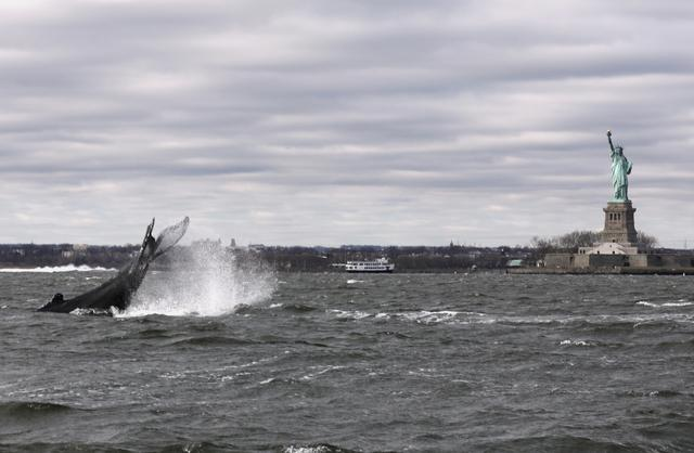 Humpback whale in New York Harbor ready for closeup at Statue of Liberty |  Reuters